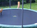 Cute Foxes Jumping on Trampoline