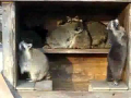 Racoon Dance Party!