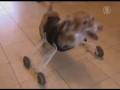 Two-Legged Dog Gets A Little Help