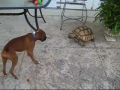 Turtle vs. Dog