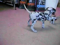 Dalmatian meets his long lost twin?!
