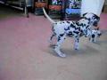 Dalmatian meets his long lost twin?!