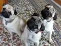 Pug Triplets