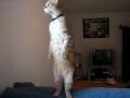 Amazing standing cat