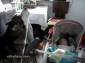 Dog sings to soothe crying baby