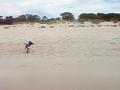 Baby Kangaroo At the Beach