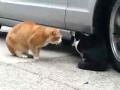 Cat Argument Caught on Tape