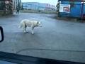 Funny Dog Doing a Dance!!!