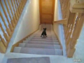 Little Hyper Dog Flies Down the Stairs