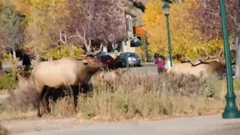 Angry bull elk breaks tree branch