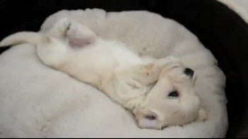 Cute Puppy Doesn't Want to Wake Up
