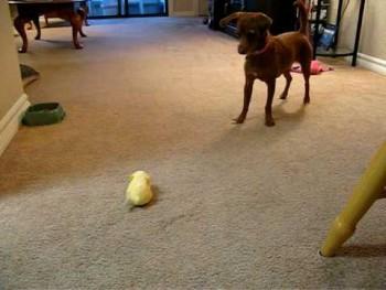 Dog vs. Zhu Zhu pet hamster
