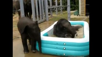 Baby Elephants in a Kiddie Pool