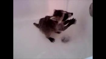 Baby Raccoon Plays in Bathtub