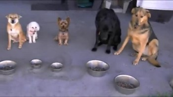 Dogs Pray Together Before Meal
