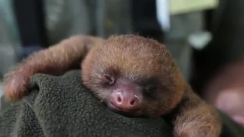 Cute Baby Sloth Yawning
