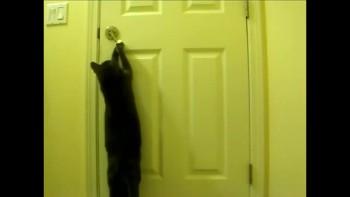 Funny cat opens door