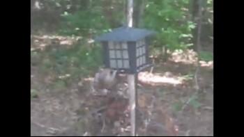 Swinging Squirrel
