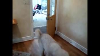 Cute Dog Opens & Shuts Doors