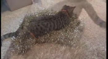 Adorable Blind Kitten Plays With Christmas Tree