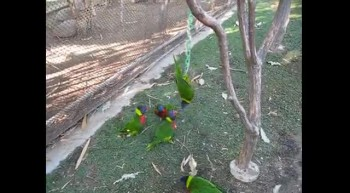Funny Lorikeets parrots fighting