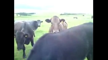 Herd of Cows Greets Puppy