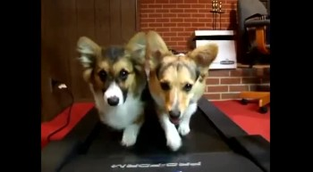 Cute Pups Share a Treadmill