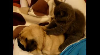 Cat massages Pug