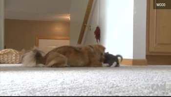 It's a Miracle! Starving Kitten Is Nursed by Dog!