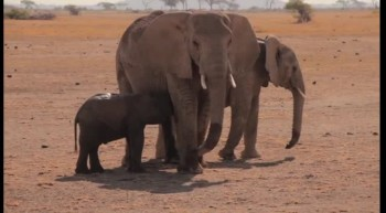 Amazing Baby Elephant Rescue + Emotional Reunion with Mother!