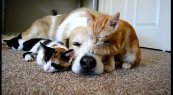 Kittens cuddle with sleeping dog--cuteness overload!