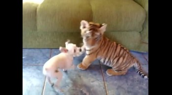 Adorable Tiger Cub Plays So Cute With Puppy - Awww!
