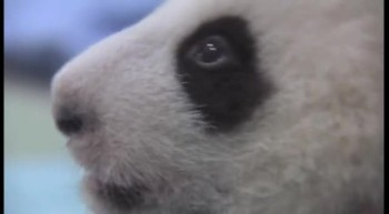 Baby Panda Takes First Steps!
