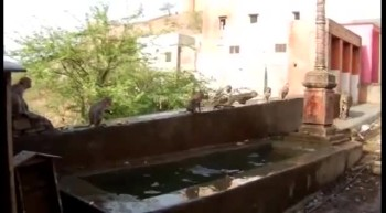 Monkeys Cannonball into Pool