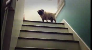 Adorable Pug Has The Cutest Way of Taking the Stairs