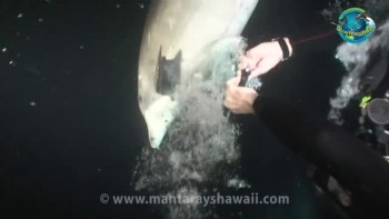 Dolphin Rescued from Fishing Line in Hawaii