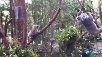 So Cute! Mother Koala Comes to Help Baby!