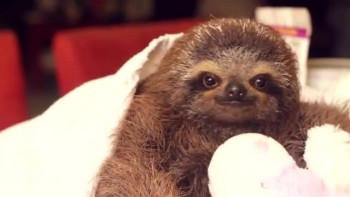 Adorable Baby Sloth!