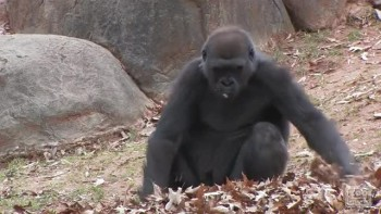 Gorilla Plays in Leaves!