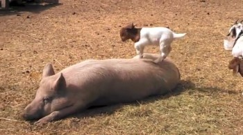 Baby Goat Plays on Sleeping Pig - You Will Laugh!