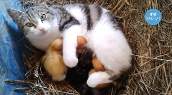 Sweet Mom Cat Adopts Abandoned Baby Ducklings