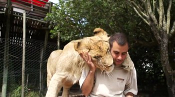 Sweet Lions Cuddle Their Human Best Friend