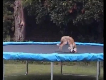 Wild Fox is Caught Playing on the Trampoline!