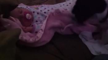 Sweet Dog Gently Tucks In Sleeping Baby
