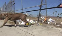 Pitbull Gets a Chance for a New Life After Dangerous Rescue
