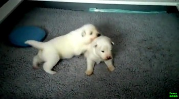 Adorable Puppies Take their First Steps Ever! -- So cute!