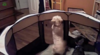 No One Can Keep These James Bond Doggies Caged! Just Watch :)