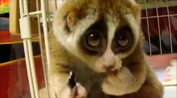 This Rescued Loris Will Melt Your Heart as It Learns to Trust