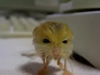 Meet One of God's Cutest Creations You've Never Heard of - the Pygmy Jerboa!