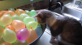 A Kitten Tries Its Best to Play With Water Balloons... and This is What Happens ;)